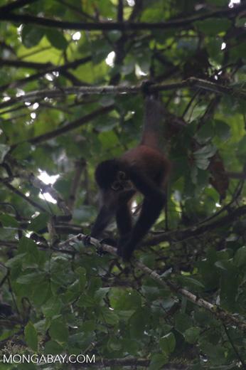 Baby spider monkey [costa_rica_osa_0625]