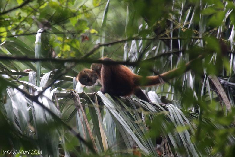 Costa Rican Spider Monkey [costa_rica_osa_0629]