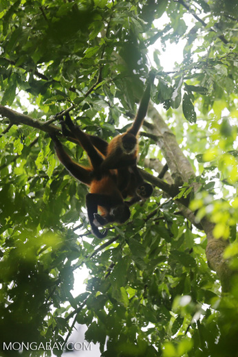 Group of Geoffroy's Spider Monkeys [costa_rica_osa_0656]