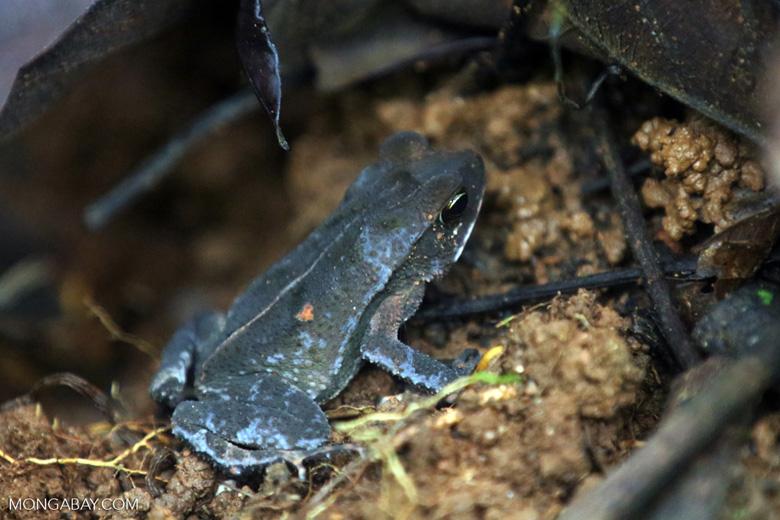 Frog [costa_rica_osa_0680]