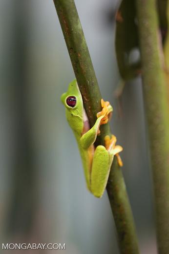 Gliding tree frog (Agalychnis spurrelli) [costa_rica_osa_0688]