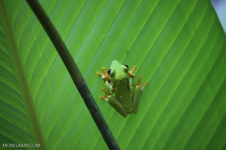 Gliding tree frog (Agalychnis spurrelli) [costa_rica_osa_0690]