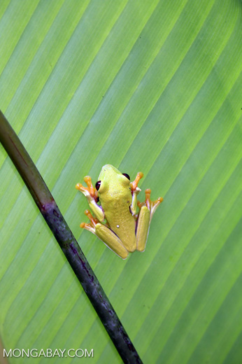 Agalychnis spurrelli tree frog [costa_rica_osa_0695]