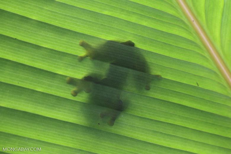 Agalychnis spurrelli tree frog [costa_rica_osa_0697]