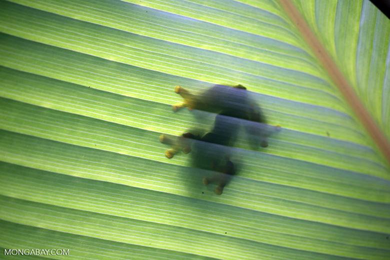 Gliding tree frog (Agalychnis spurrelli) [costa_rica_osa_0702]