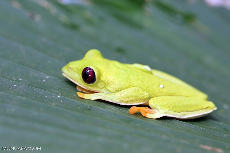 Gliding tree frog (Agalychnis spurrelli) [costa_rica_osa_0709]