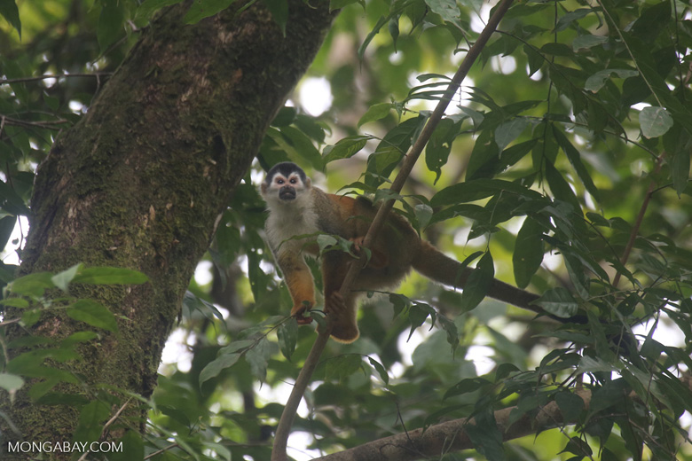 Squirrel monkey [costa_rica_osa_0712]