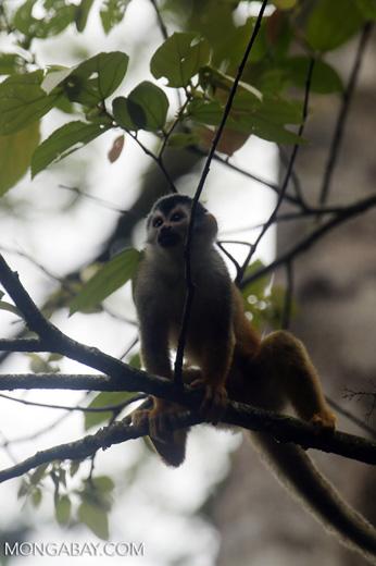 Squirrel monkey [costa_rica_osa_0718]