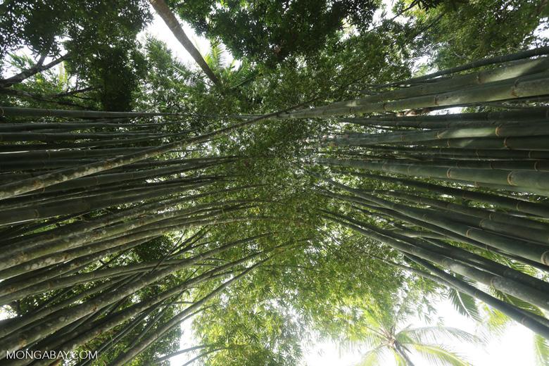 Giant bamboo [costa_rica_osa_0764]