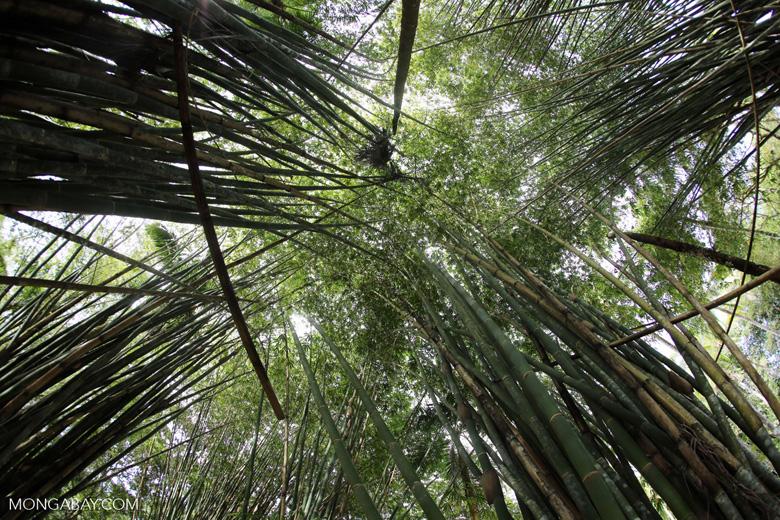 Giant bamboo [costa_rica_osa_0768]
