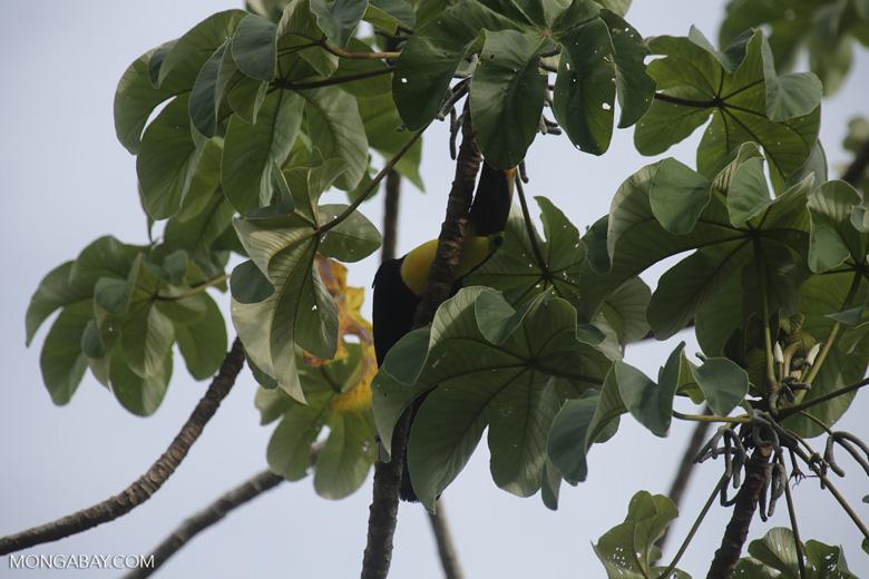 Chestnut-mandibled Toucan (Ramphastos swainsonii) [costa_rica_osa_0828]