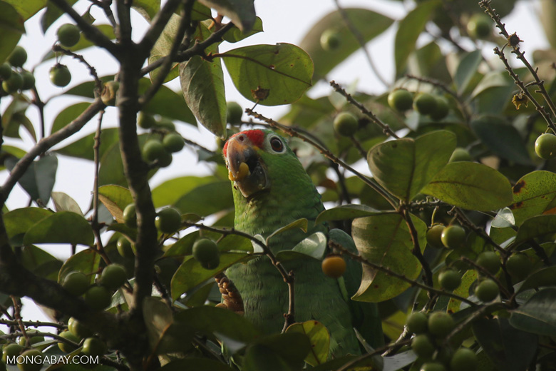 Parrot [costa_rica_osa_0837]