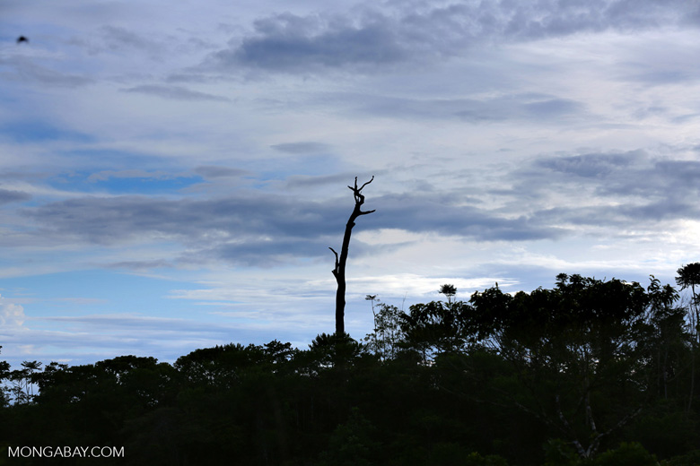 Dead rainforest tree