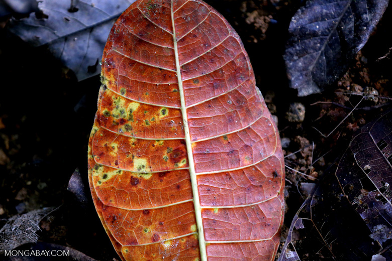 Rainforest leaf decaying on the forest floor [costa_rica_osa_0863]