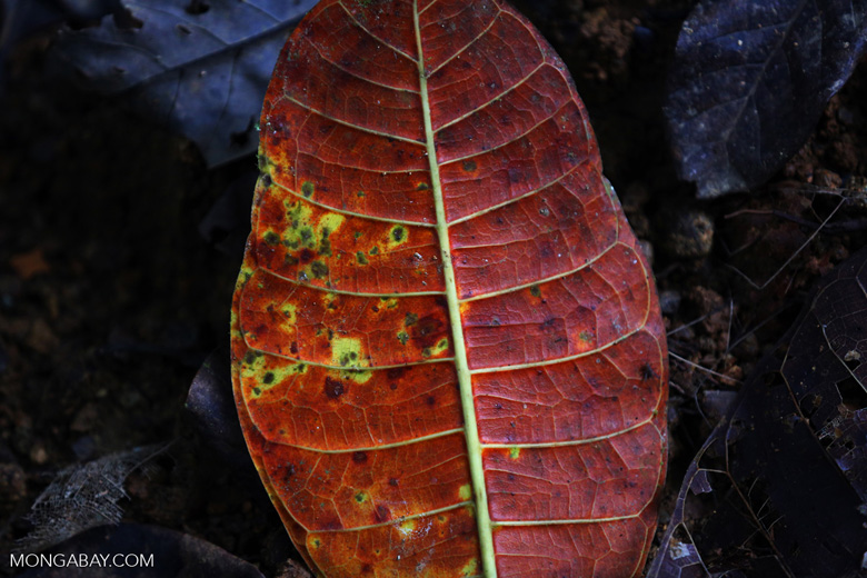 Rainforest leaf decaying on the forest floor