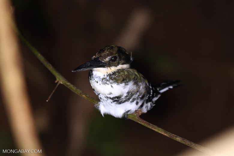 Female Green Kingfisher (Chloroceryle americana) [costa_rica_osa_0879]