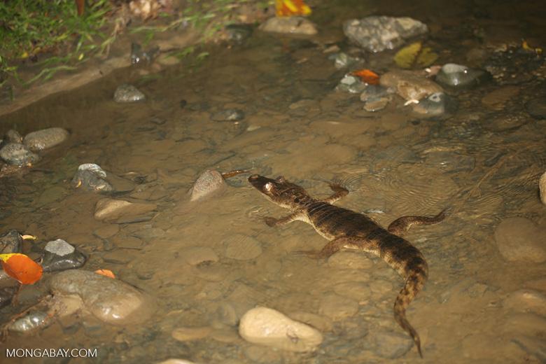 Spectacled Caiman (Caiman crocodilus) [costa_rica_osa_0897]