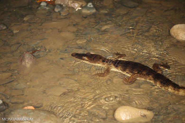 Spectacled Caiman (Caiman crocodilus) [costa_rica_osa_0899]