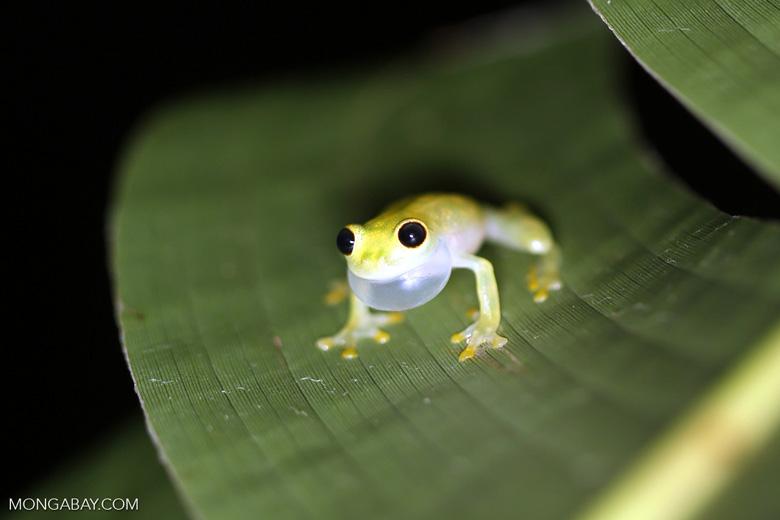 Glass frog [costa_rica_osa_0902]