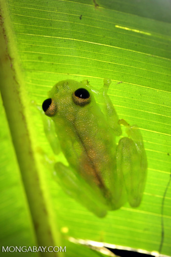 Glass frog [costa_rica_osa_0914]