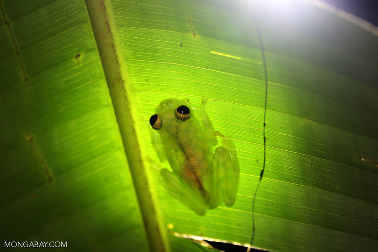 Glass frog [costa_rica_osa_0916]