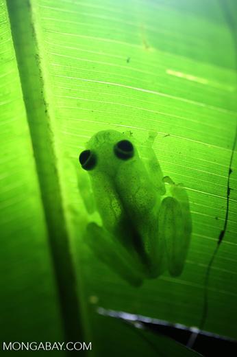 Glass frog [costa_rica_osa_0922]