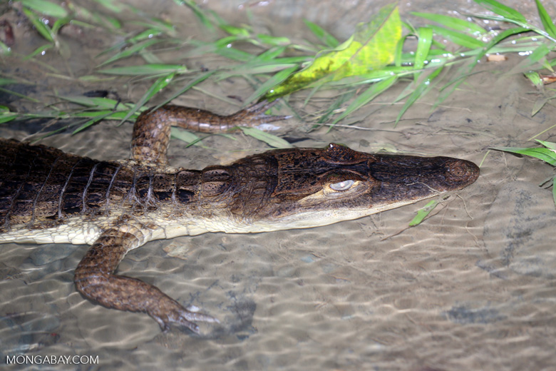 Spectacled Caiman (Caiman crocodilus) [costa_rica_osa_0939]