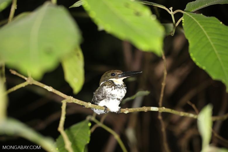 Female Green Kingfisher (Chloroceryle americana) [costa_rica_osa_0949]