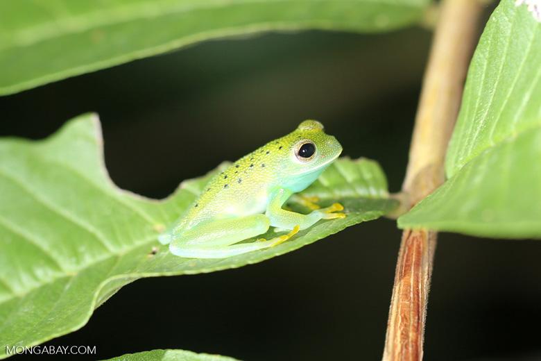 Glass frog [costa_rica_osa_0959]