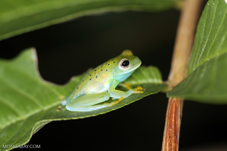 Glass frog [costa_rica_osa_0964]