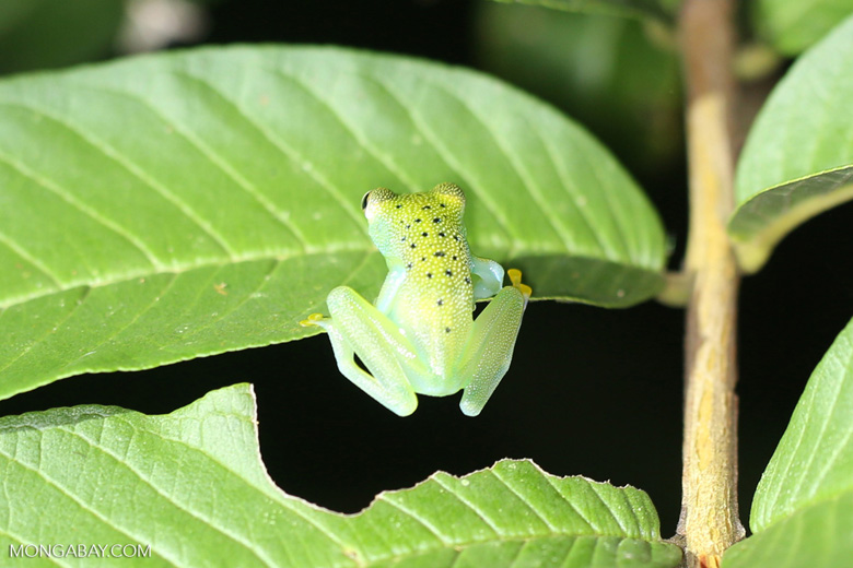 Glass frog [costa_rica_osa_0966]