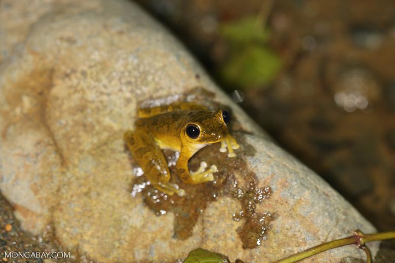 Frog [costa_rica_osa_0970]
