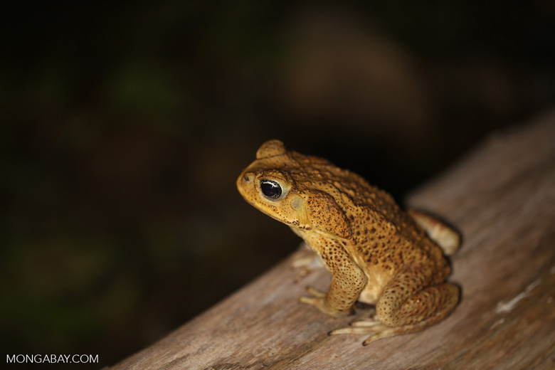 Cane Toad (Bufo marinus) [costa_rica_osa_0986]
