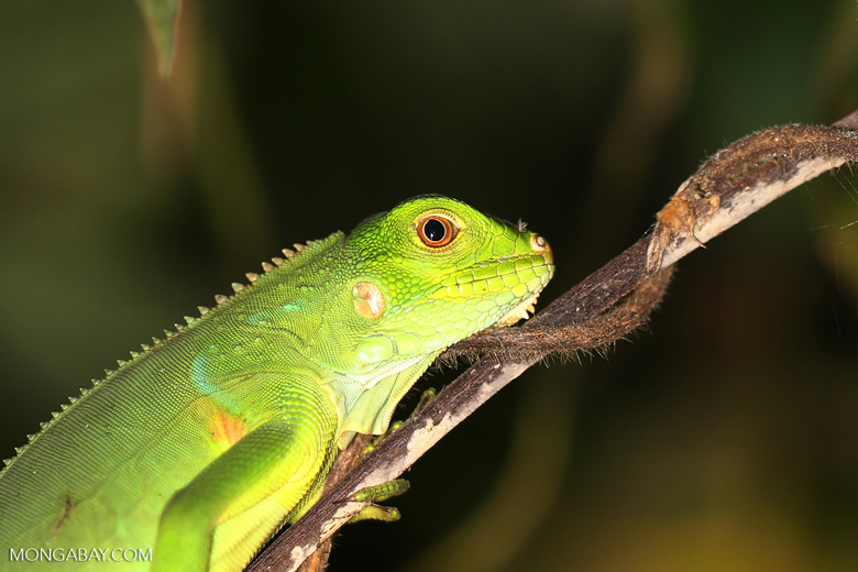Young green iguana [costa_rica_osa_1001]