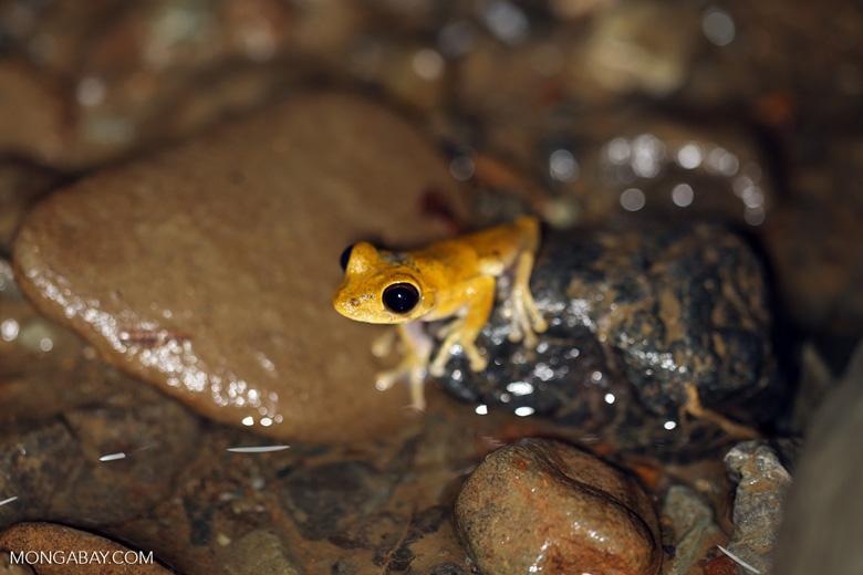 Frog [costa_rica_osa_1011]