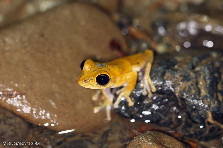 Frog [costa_rica_osa_1012]