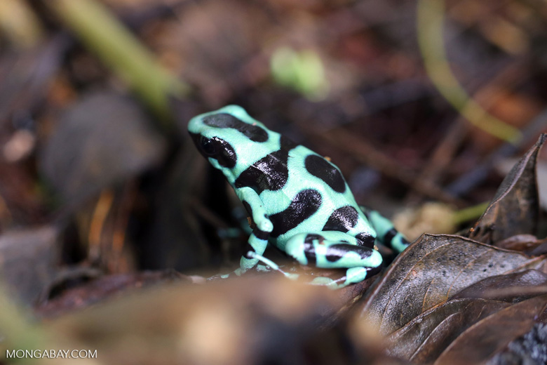 Green-and-black poison dart frog [costa_rica_siquirres_0017]