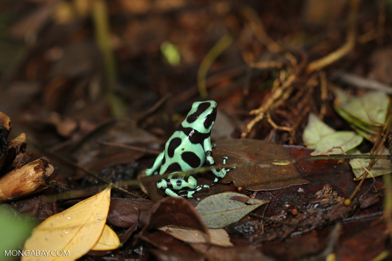 Green-and-black poison dart frog [costa_rica_siquirres_0019]