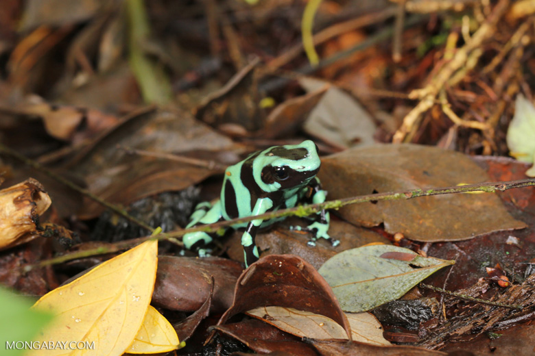 Green-and-black poison dart frog [costa_rica_siquirres_0021]