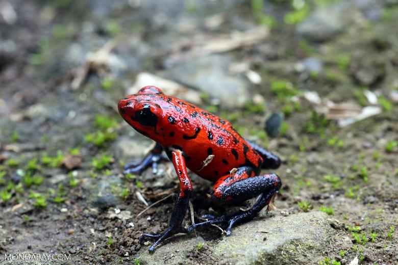 Strawberry poison-dart frog (Oophaga pumilio) [costa_rica_siquirres_0049]
