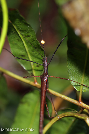 Stick insect [costa_rica_siquirres_0076]