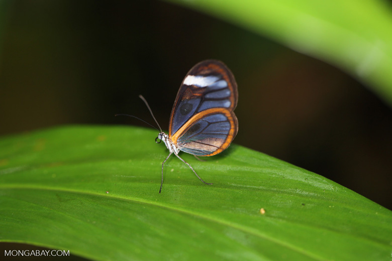 Glasswinged butterfly (Greta oto) [costa_rica_siquirres_0134]