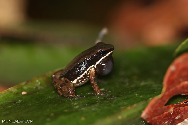 Rainforest rocket frog (Colostethus flotator)