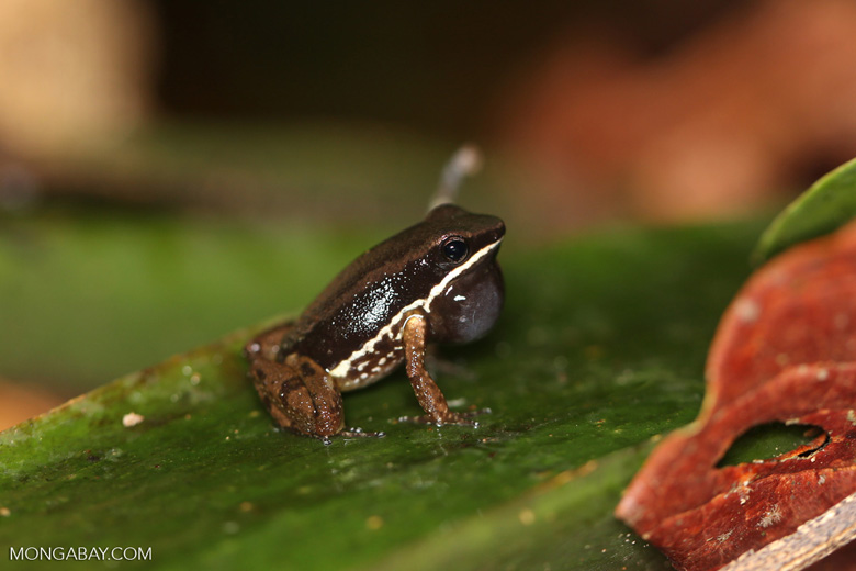 Rainforest rocket frog