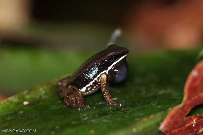Silverstoneia flotator rocket frog
