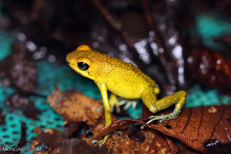 Yellow Granular Poison Dart Frog