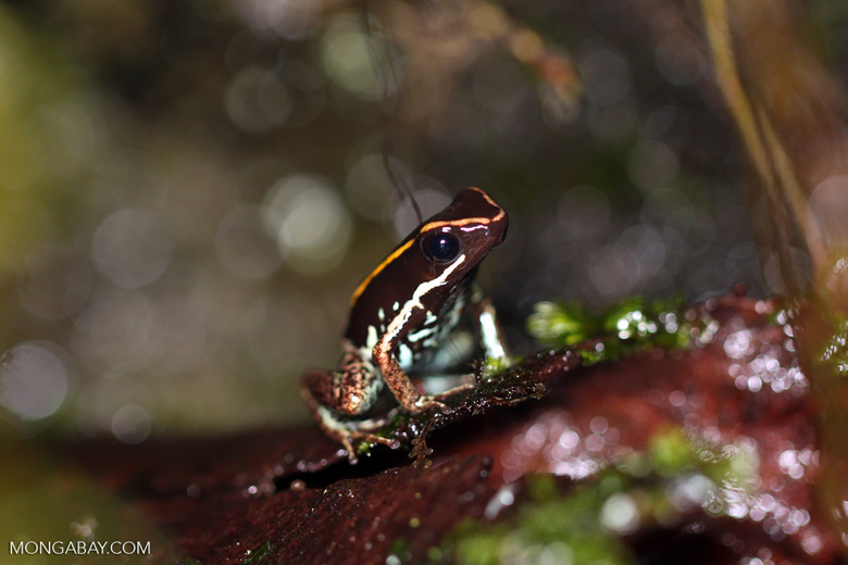 Bumblebee Arrow Frog (Phyllobates lugubris)