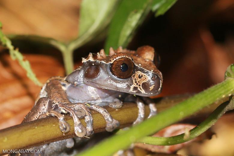 Spiny-headed tree frog (Anotheca spinosa)