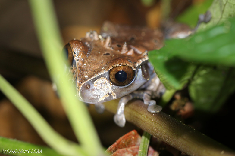 Crowned tree frog (Anotheca spinosa) [costa_rica_siquirres_0204]