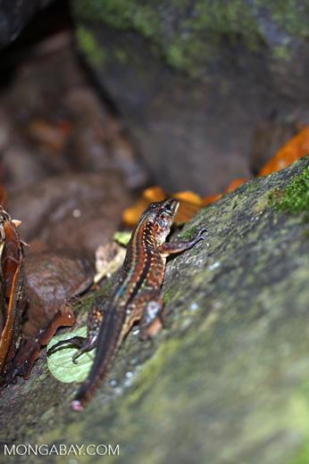 Lizard [costa_rica_siquirres_0227]
